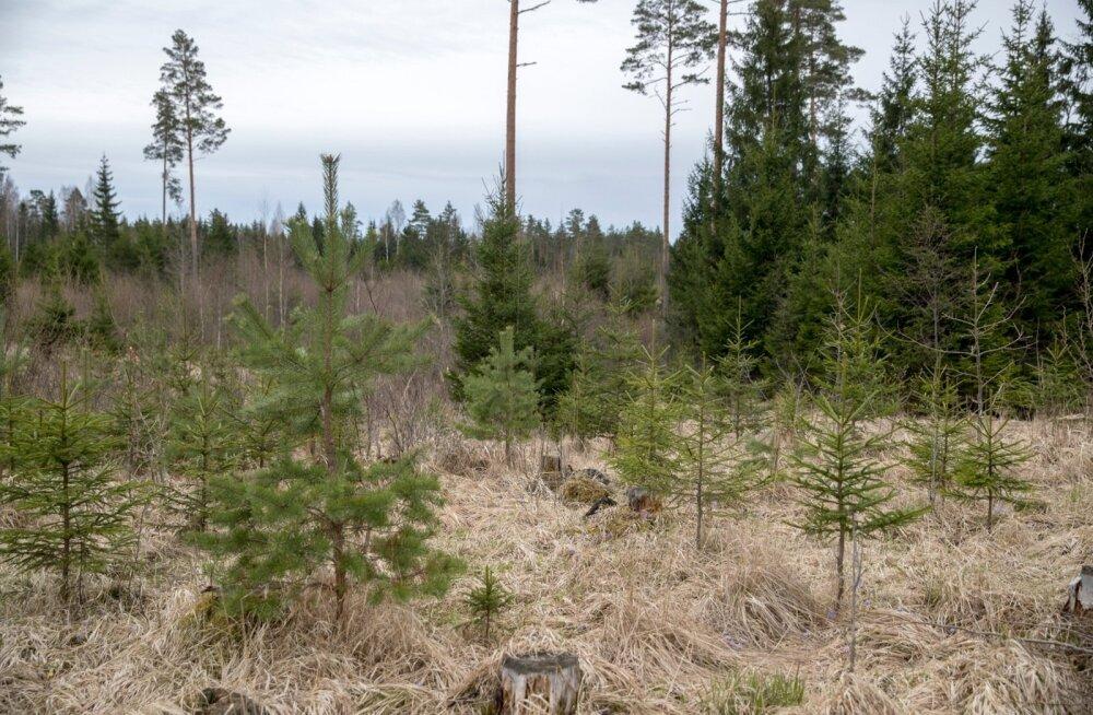 Seda, milline näeb välja 10–15aastane istutatud mets või vastav võsaväli, teab isegi linnainimene.