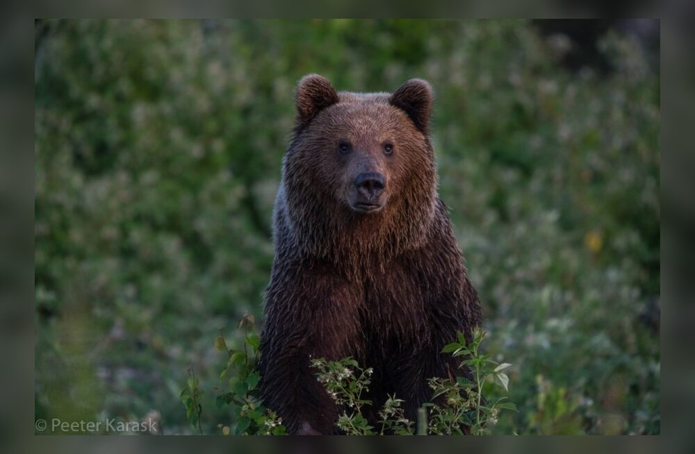 Lääne Elu: в пятницу по Хаапсалу прогуливался медведь