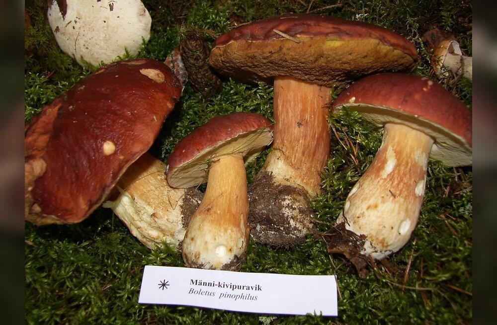 Rõuges algas seenenädal