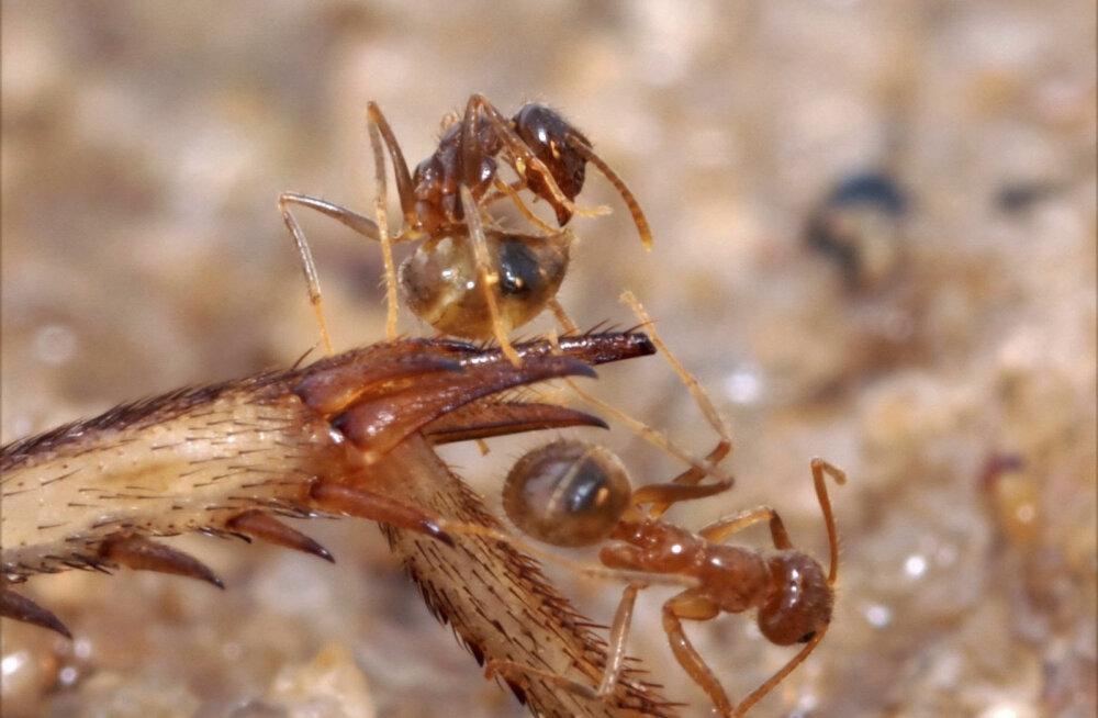 Sipelgate ülima töökuse saladus peitub laiskuses