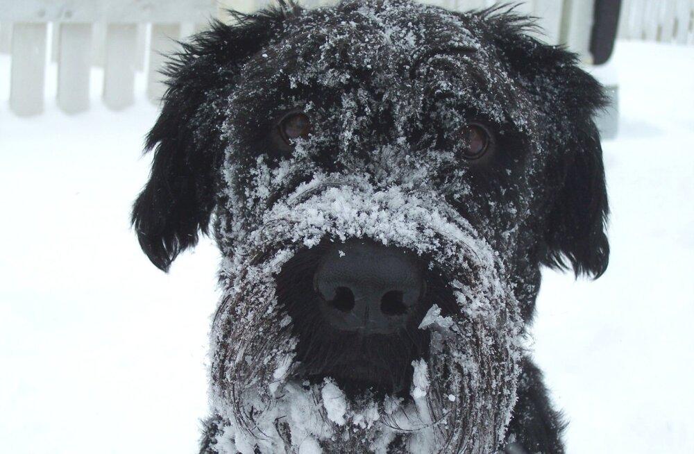 Külmetushaigused: kas külm ilm ohustab ka koeri?