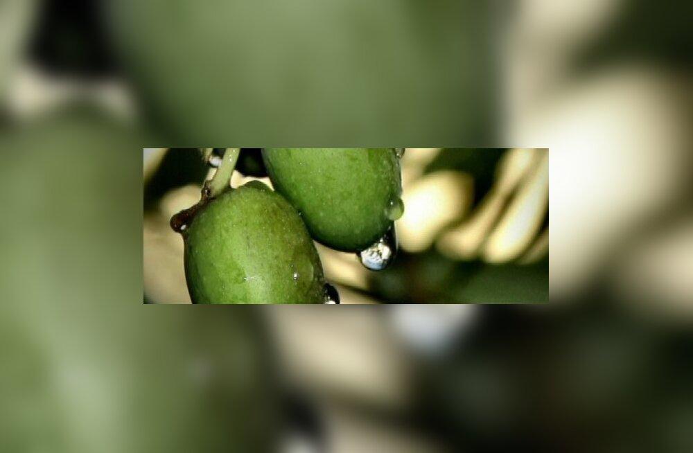 Oliivid— rohi kõige vastu