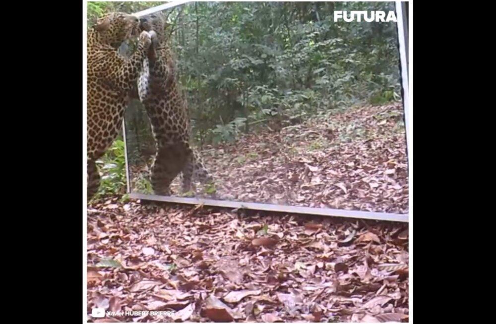 PÕNEV VIDEO | Iseenda peegelpilt ajab loomad hämmingusse