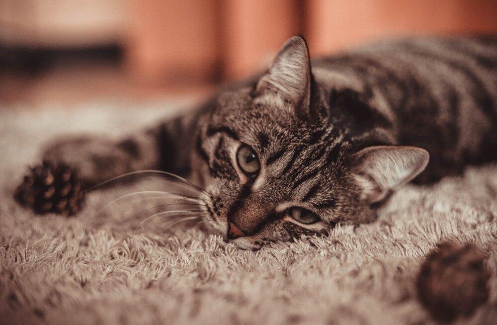 Hoolitse nende kaheksa asja eest ja sinu kass on õnnelik