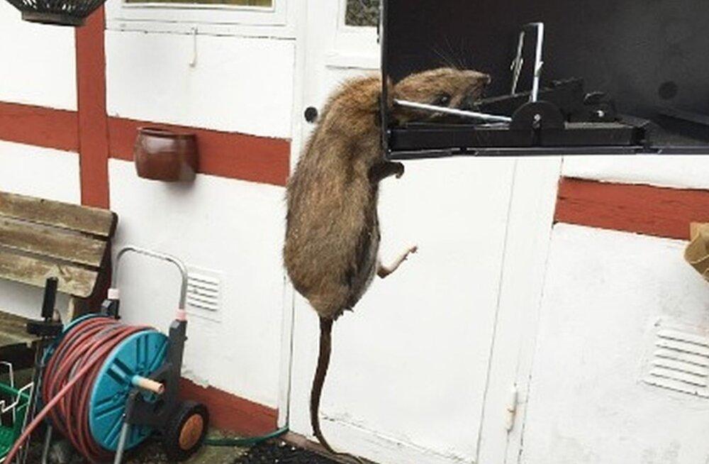 Mida te teeksite, kui teie kodu ründaksid hiiglaslikud rotid?
