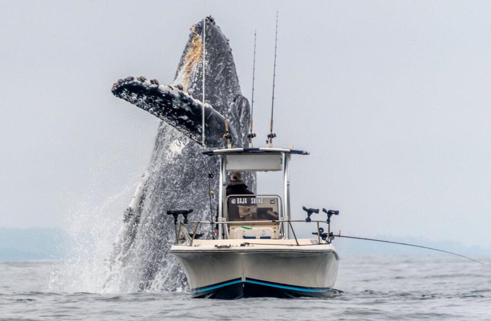 Прыжок 30-тонного горбатого кита попал на видео