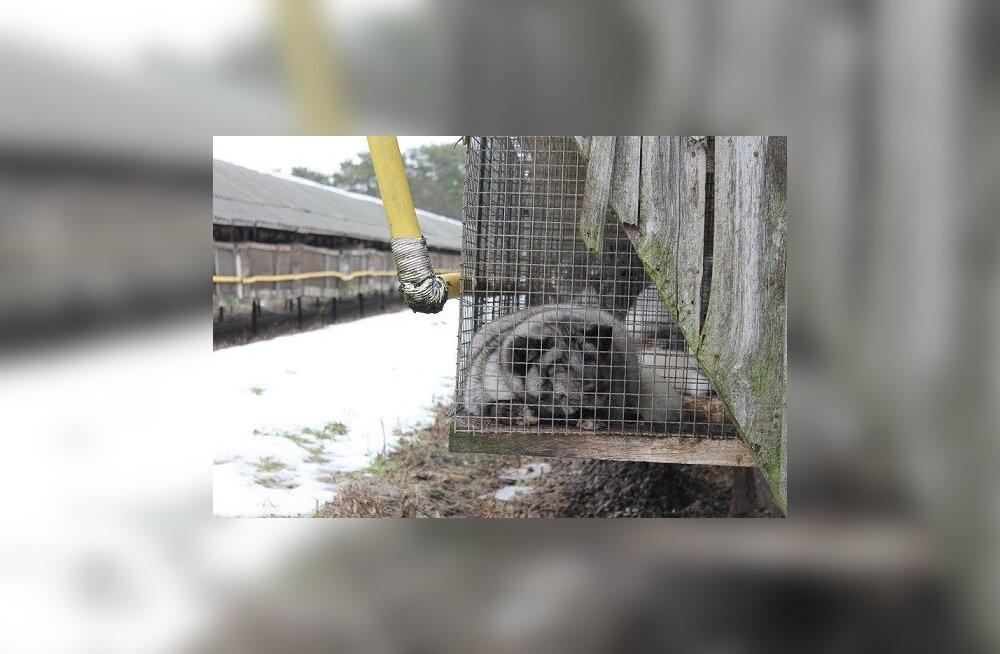 """Veterinaarid karusloomafarmidest: ainus """"lohutus"""" on see, et karusloomade eluiga on enamasti lühike"""