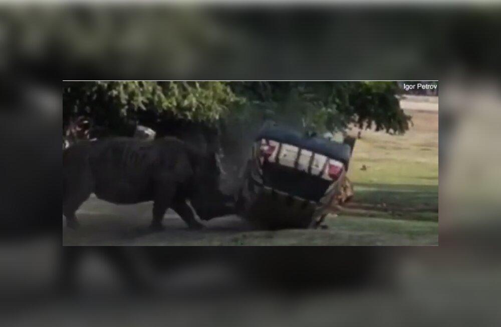 ВИДЕО: В Германии разъяренный носорог напал на машину сотрудницы сафари-парка