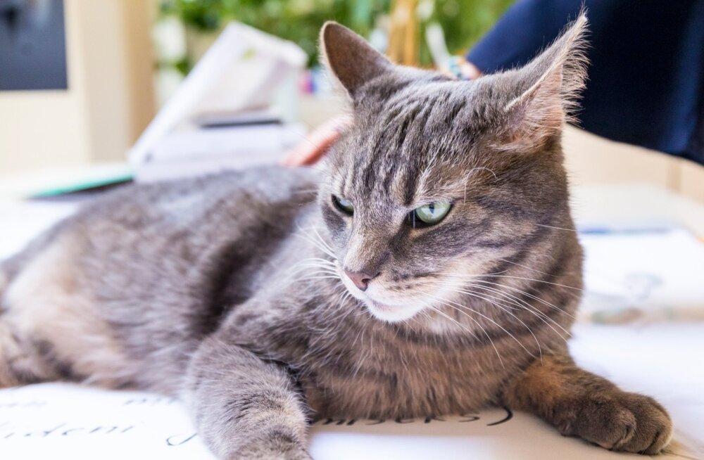 Kass, kes kõndis omapäi: kümme aastat tagasi kodust putku pannud kiisu leiti viimaks üles