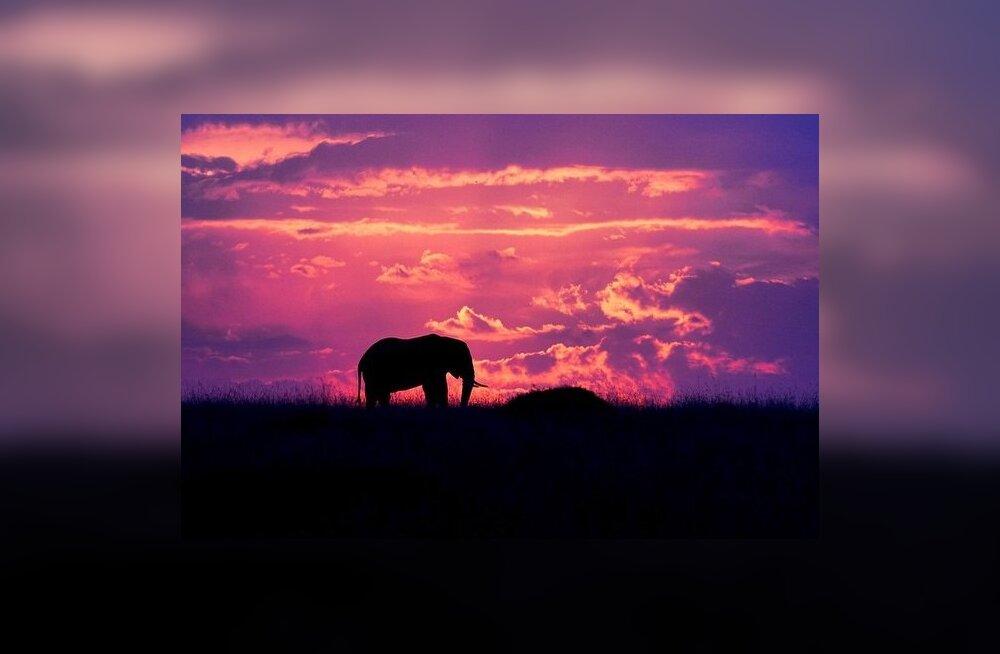 Kus elevant tapeti? Salaküti asukohta täpsustab vandli DNA uurimine