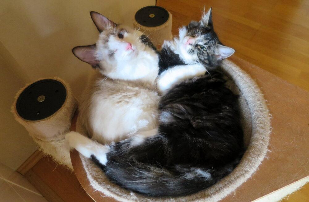 GALERII | Simmo ja Sia on erilised, ühesilmsed ja lahutamatud ühist kodu otsivad kassipojad