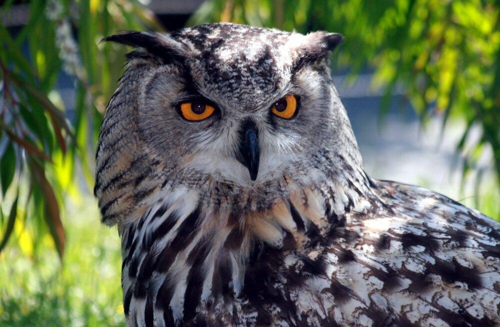Kassikaku kaitseks seatakse piirangud 88 hektarile metsale, kus pole lindu 15 aastat nähtud