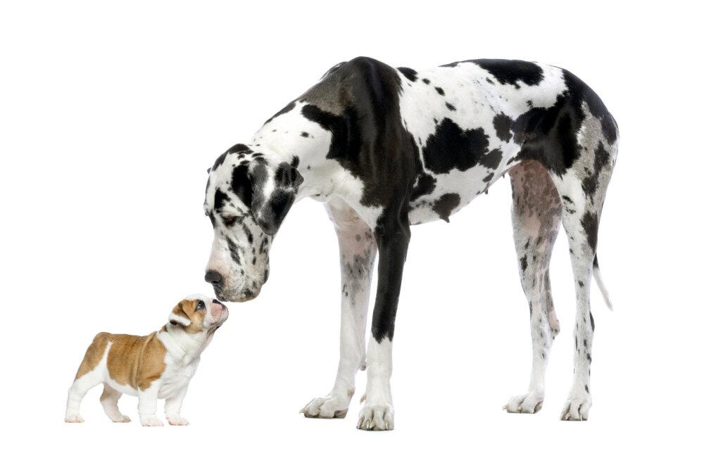 Kõige kõrgemast kõige raskemani: need on 9 maailma suurimat koeratõugu
