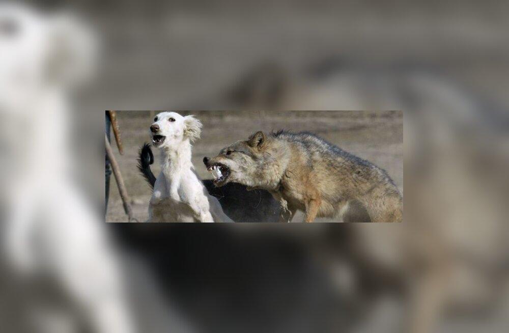 hunt, koer