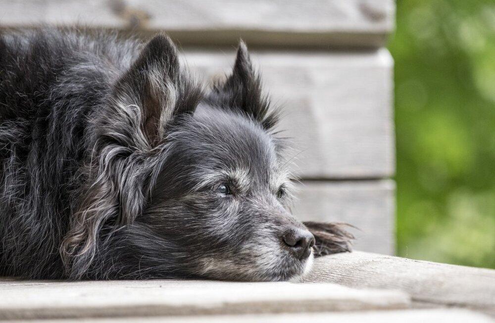 Koerad ja dementus: kas minu koer võib olla seniilne?