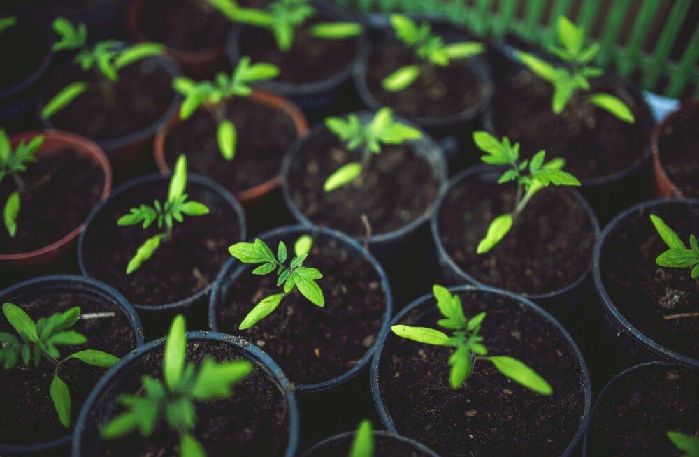 Kasvuhoone aitab kaitsta saaki temperatuurikõikumiste eest mitte ainult kevadel, vaid ka sügisel, kui väljas muutub järjest jahedamaks.