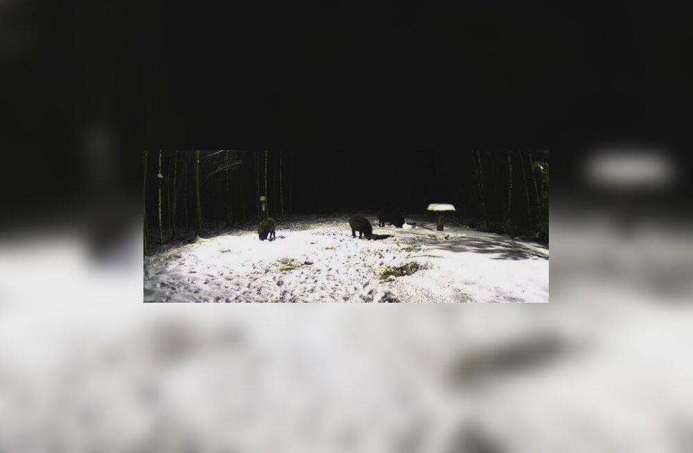 Jahimehed leiavad metssigade korjuseid
