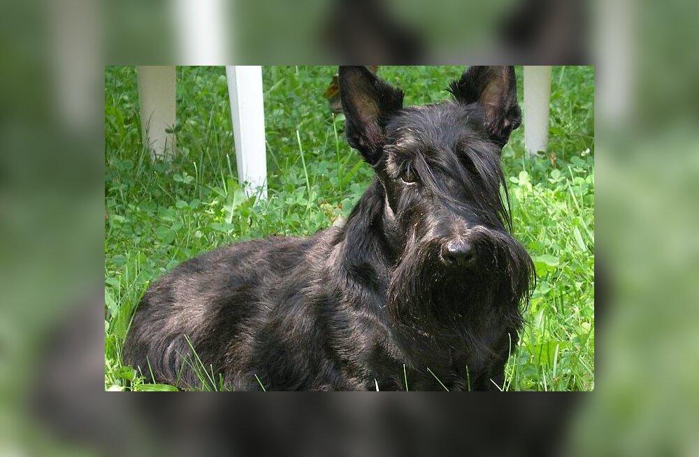 Šoti terjer — tugeva sabaga ruudukujuline koer