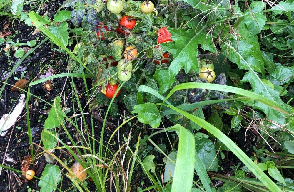 FOTOD   Seenelised leidsid Hiiumaal metsast tomatitaimed