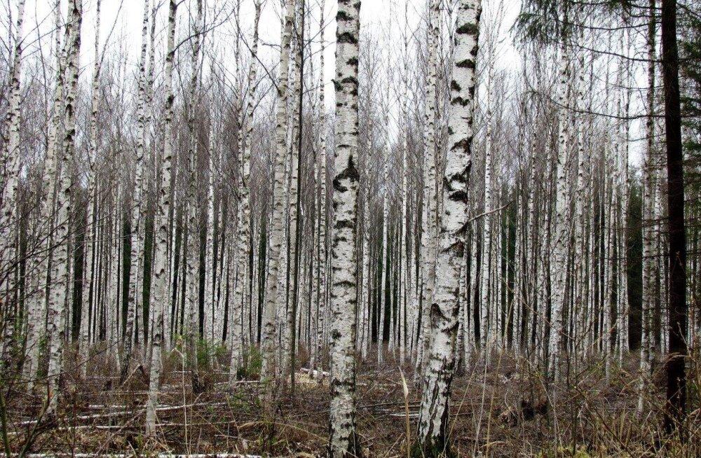 Leili metsalood | Hooldatud kaasik kasvatab hinnalist puitu