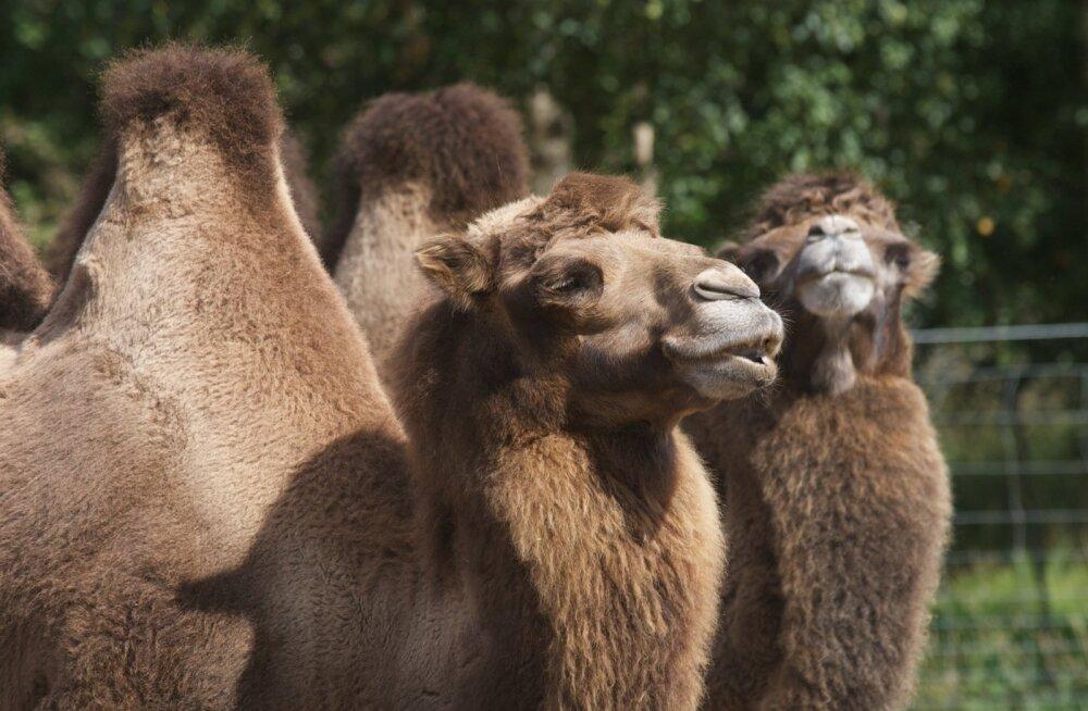 Kaamelid, kes küll Saudi Araabias ei võistle, vaid elavad Tallinna loomaaias.