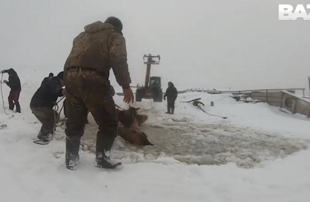 ВИДЕО: В Башкирии табун лошадей провалился под лед. Жители спасли их с помощью трактора