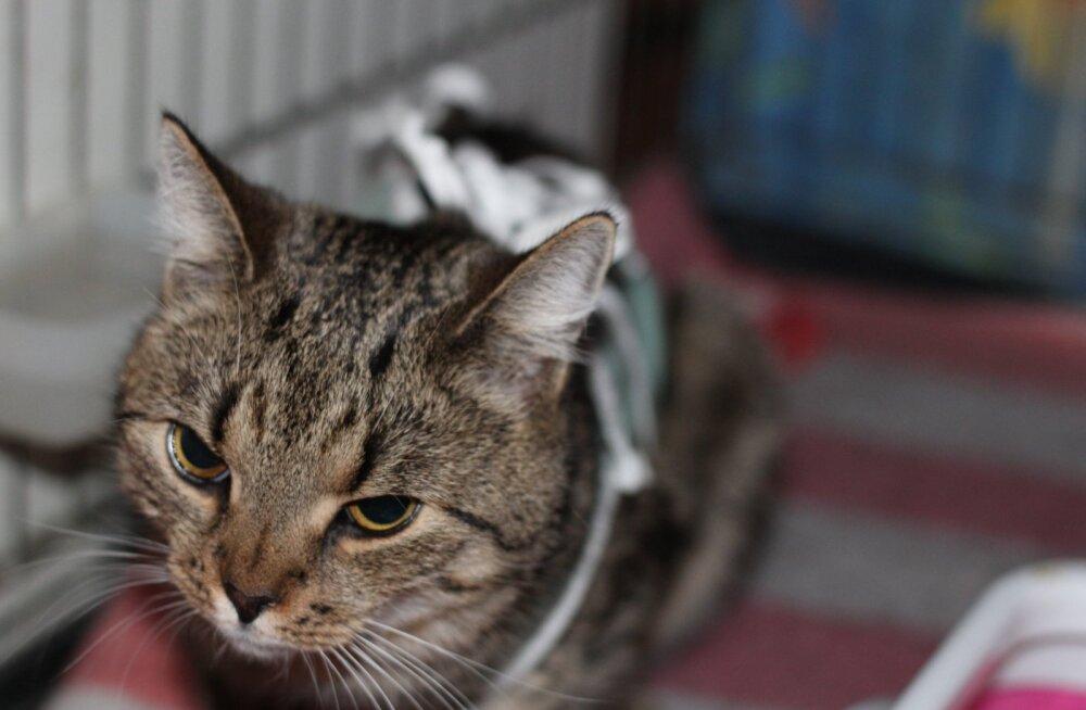 Täpu kurb lugu | maantee äärde hüljatud kassipoeg seisab silmitsi rea tervisemuredega