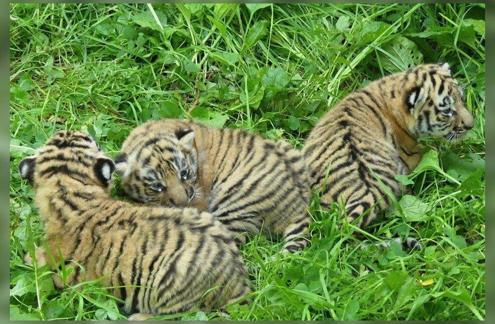 FOTOD   Tšehhi loomaaed tutvustas suuremale avalikkusele Tallinna loomaaia tiigri Pootsmani kutsikaid, selgus ka nende sugu