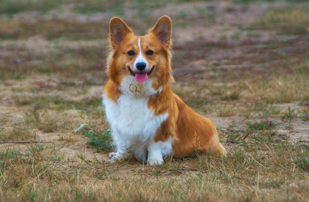 LOOS | Otsime eestlaste lemmikut koeratõugu: kes on sinu lemmik?