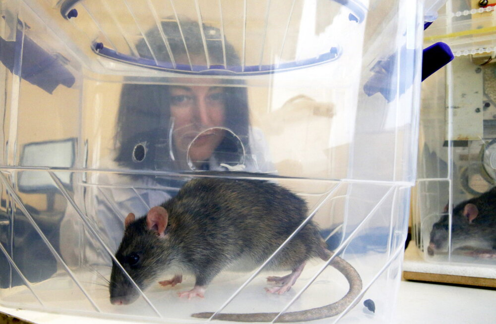"""Teadlased suutsid rottidel aju vananemise """"tagasi keerata"""""""