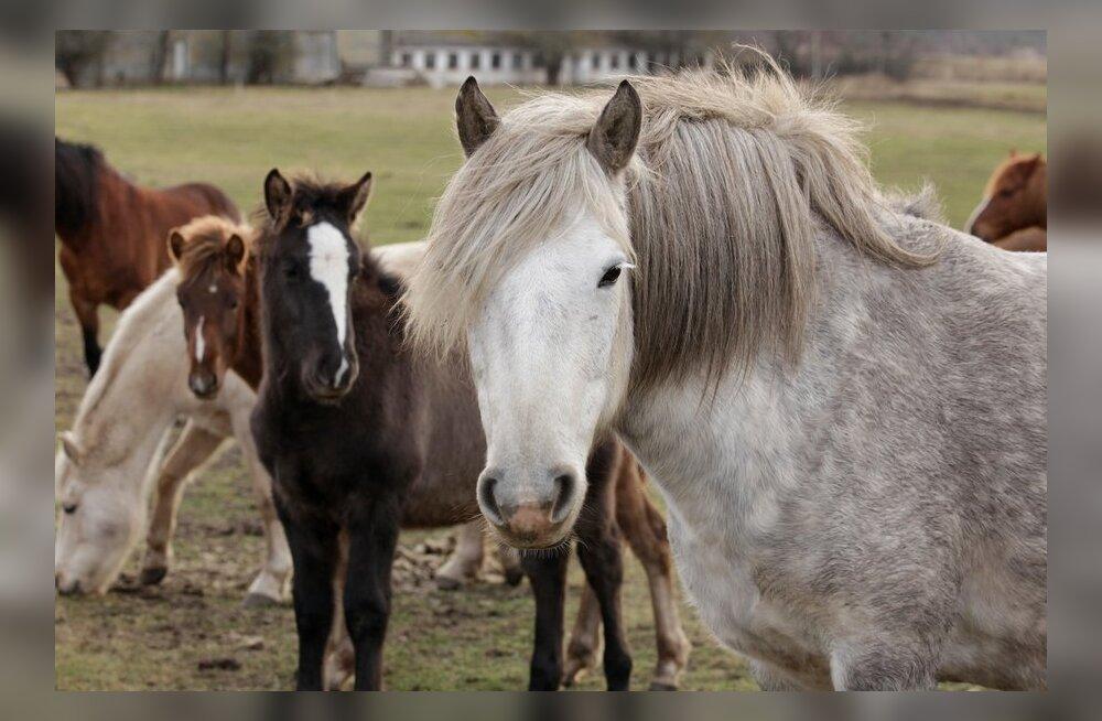 e0364d3fe24 Harjumaal Perilas tuvastati hobustel väga nakkav hingamisteede nakkushaigus  nõlg