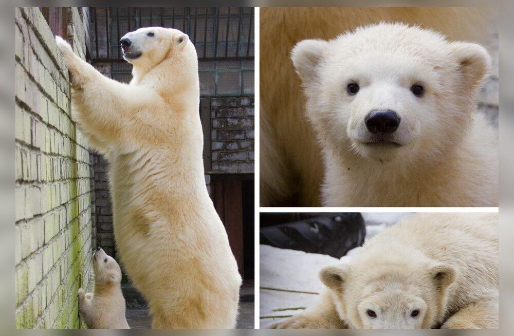 PALJU ÕNNE | Jääkarud Nora ja Nord tähistavad sünnipäeva