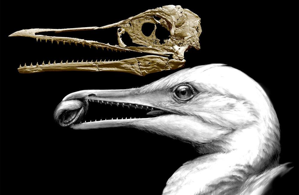 """Saurustega kõrvuti elanud ürgne """"hammaskajakas"""" oli esimene moodsa nokaga lind"""
