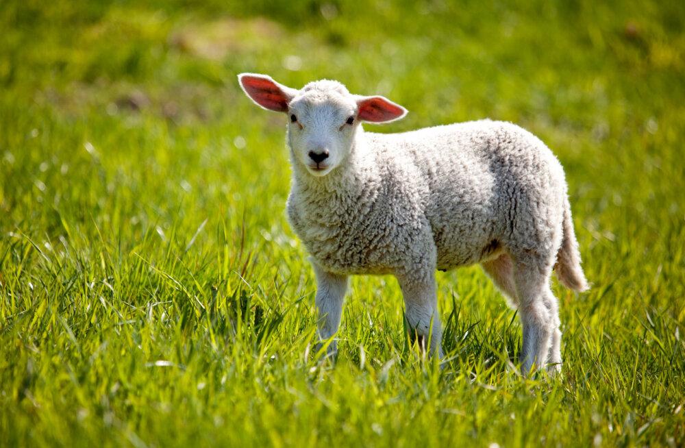 Rahvakalendri järgi on täna annepäev ehk lambapüha