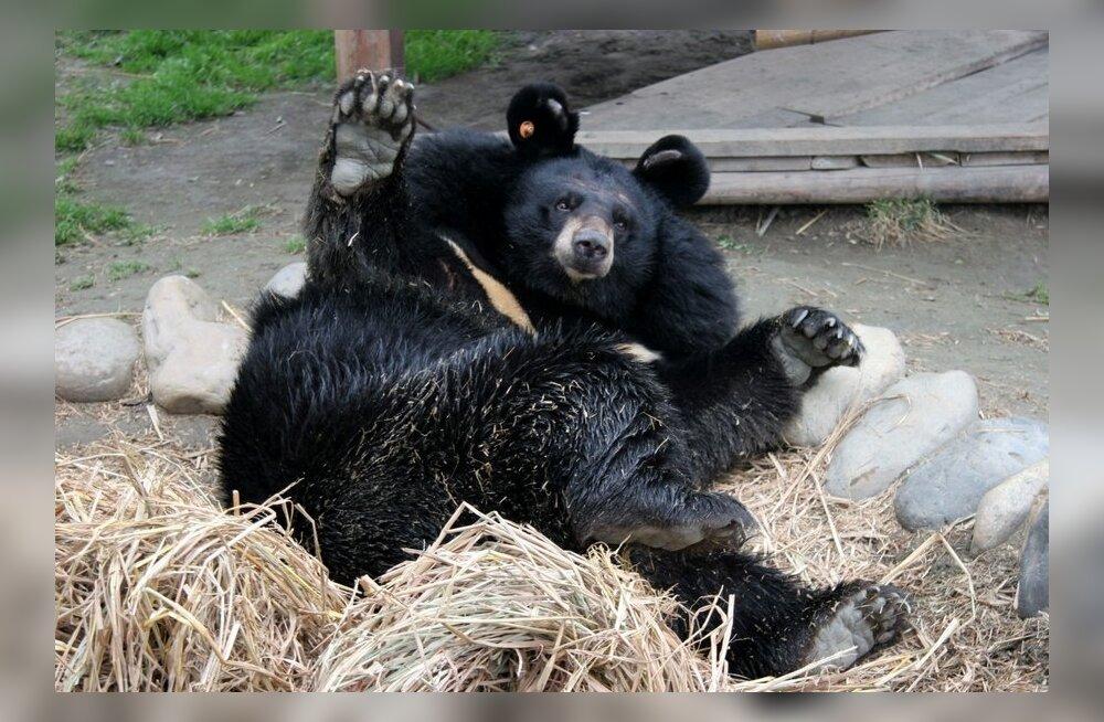 Karu haavad paranevad talveunes armideta