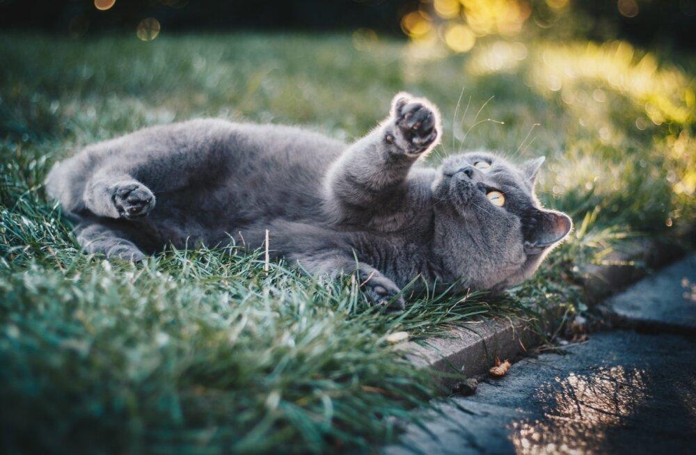 Ленивая кошка с лишним весом стала звездой Сети