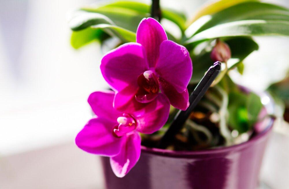 KEVADINE FOTOVÕISTLUS | Jaga meiega pilti oma kaunist orhideest ja võida suurepärane auhind!