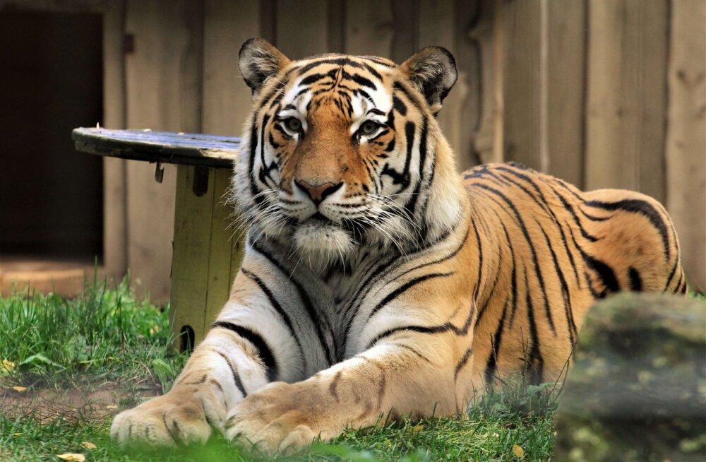 Loomaaia amuuri tiiger Pootsman sõidab ajutiselt Tšehhi oma kallimale külla