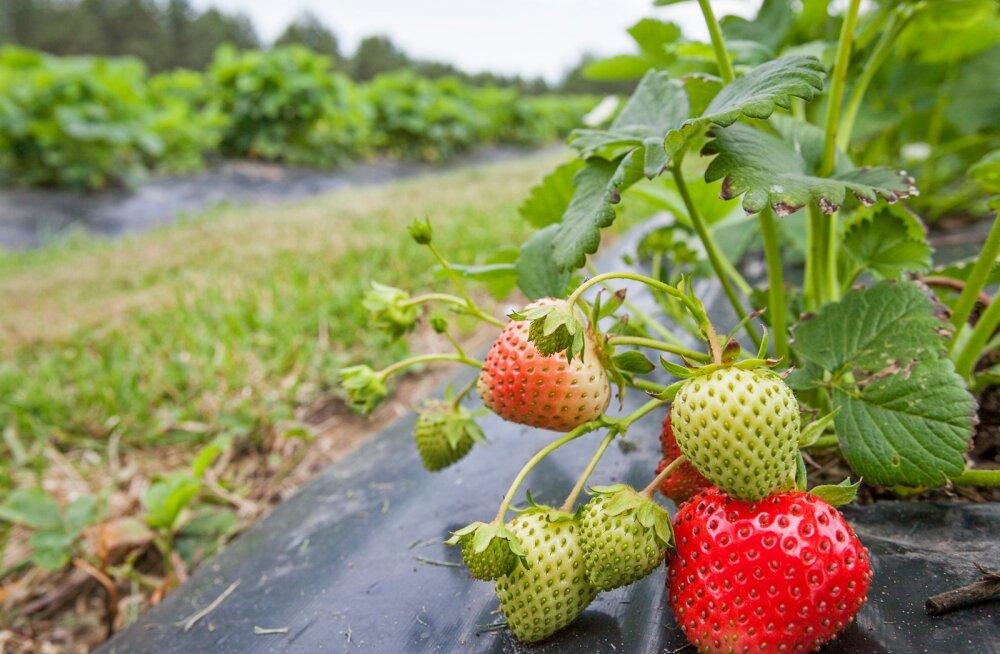On oht, et sel aastal jäävad maasikad põldudele mädanema.