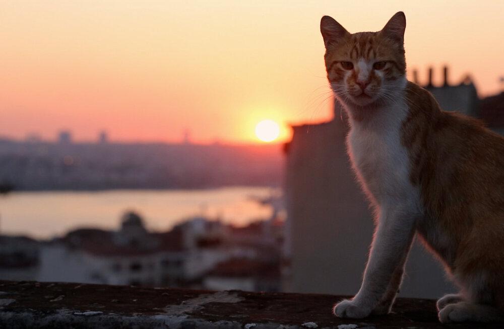 Kassisõbrad kinno   Nädalavahetuse kinokülastuse üllataja on dokfilm Istanbuli tänavakassidest