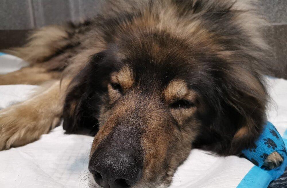 Vana koer tahab koju: 19-aastane vagabund Ilkas jõudis Tapal taas pererahva juurde