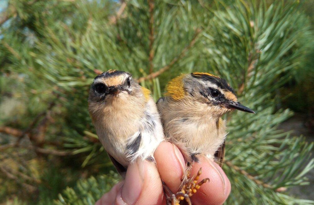 Eestis pesitseb pea 30 miljonit lindu, kanaliste olukord halveneb