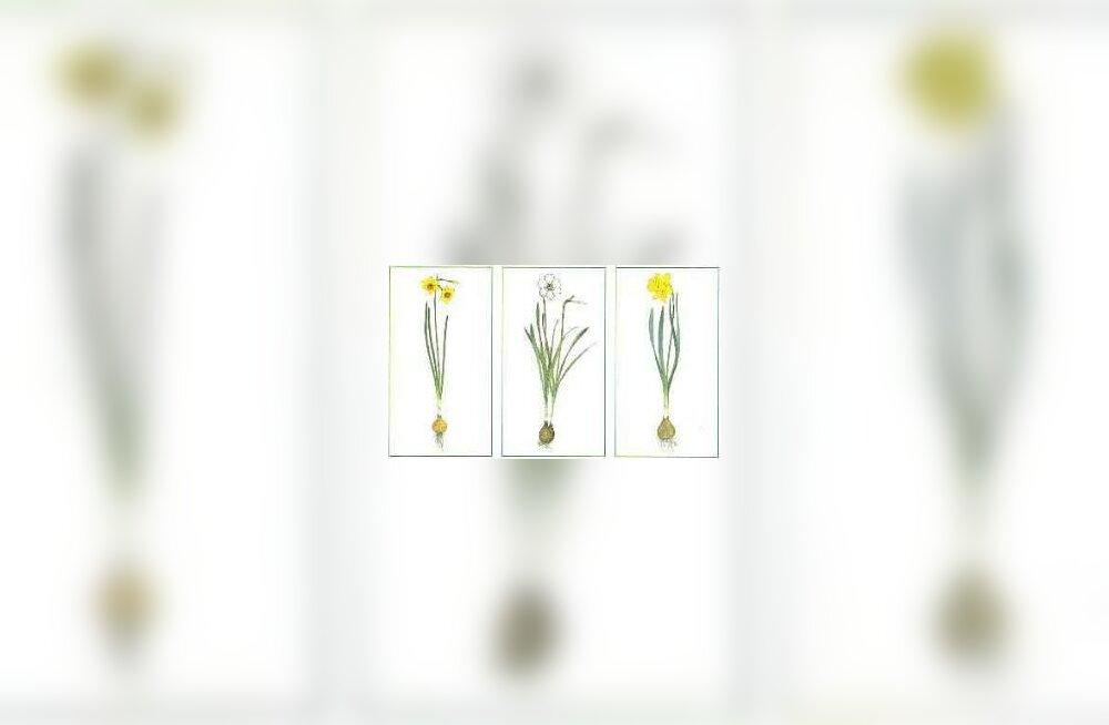 Lillesibulad