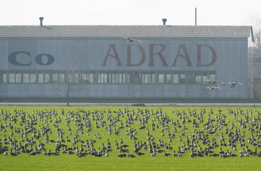 Hanesid on kevadeti põldudel üha rohkem, linnud tekitavad põllumeestele mitme miljoni euro eest kahju