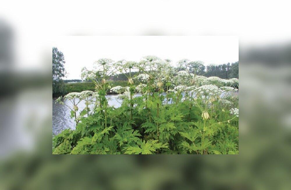 Keskkonnaamet: karuputke tõrjel tuleb olla ettevaatlik- taimed on mürgised