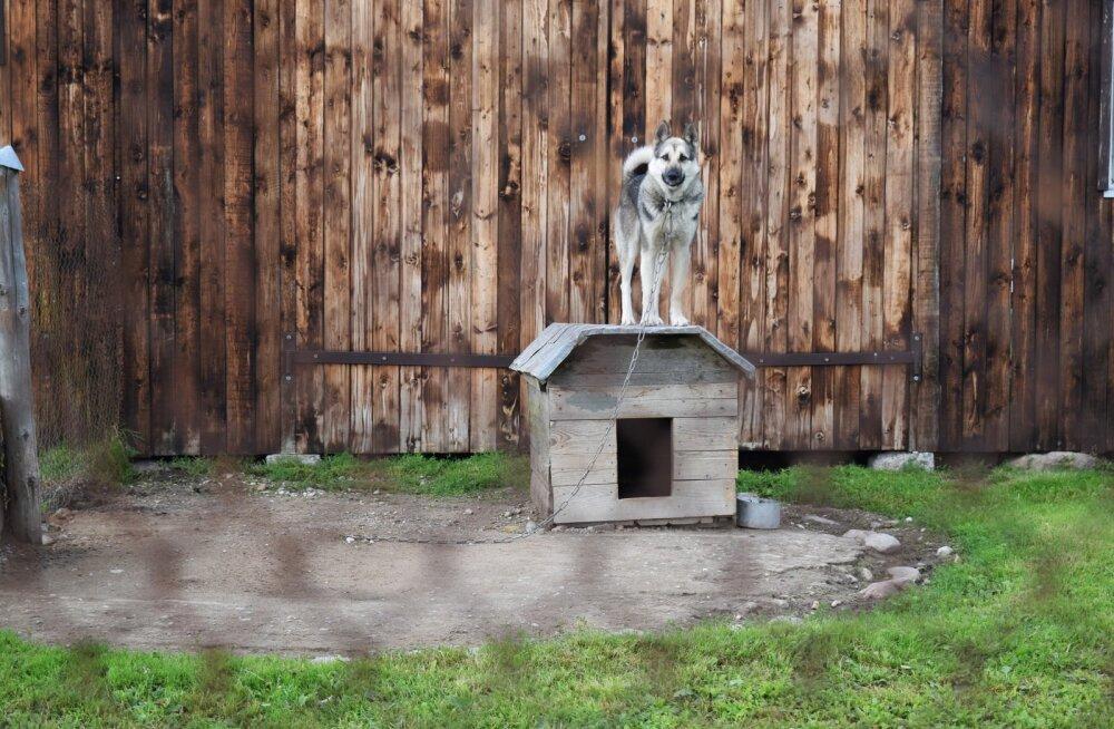 Paides leiti koerakuudist üks üsnagi ootamatu külaline