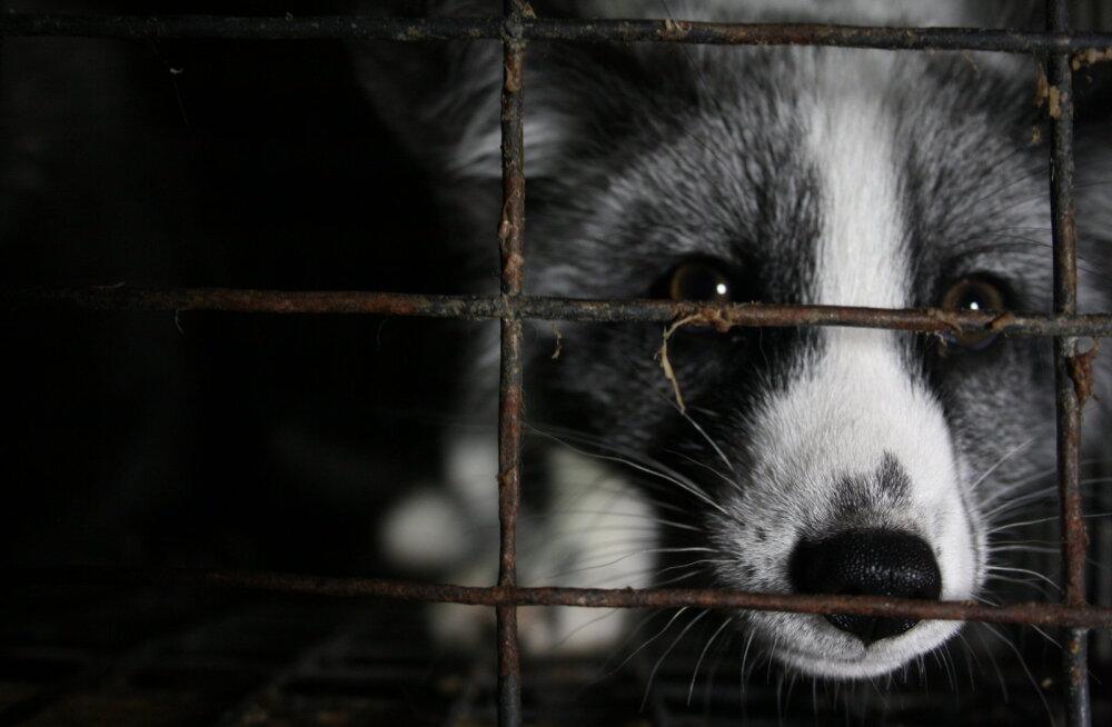 1000 digiallkirja 24 tunniga: inimesed ei jõua karusloomafarmide sulgemist ära oodata