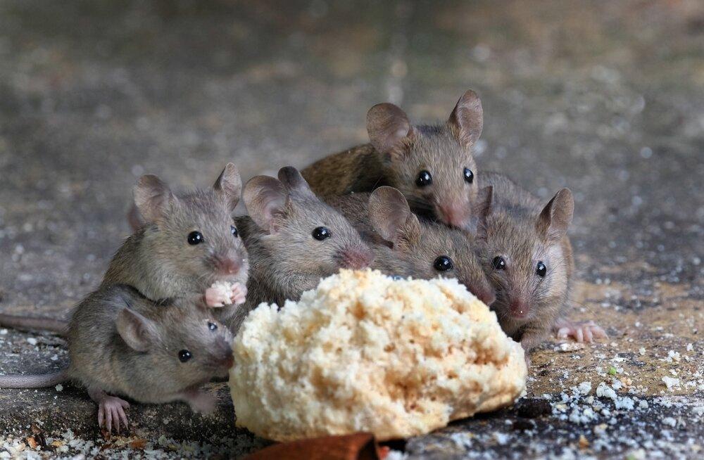 Tänavu tungivad hiired juba enne külmi majadesse ja sedapuhku on neid iseäranis palju.