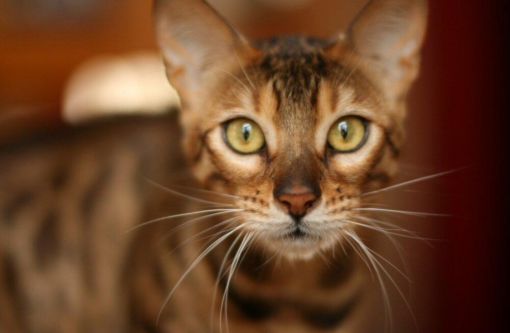 Jalustrabava välimusega bengal on kassitõug, kelle vastu ei ole sul mitte midagi panna