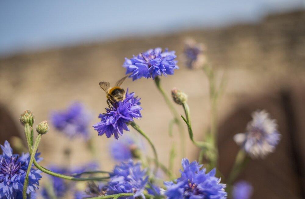 Ootamatu avastus võib päästa mesilased nende hirmsaima nuhtluse käest